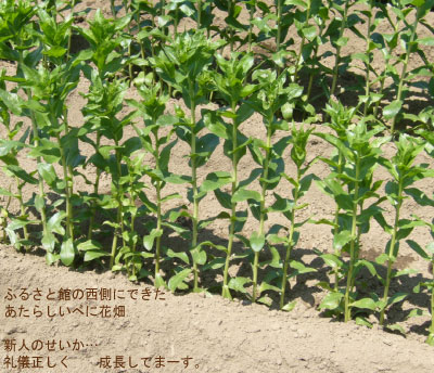 shinbatake.jpg